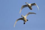 Mute Swans / Knobbelzwanen