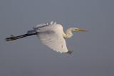 Great Egret / Grote Zilverreiger
