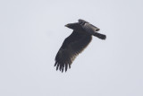Greater Spotted Eagle / Bastaardarend