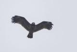 2cy Greater Spotted Eagle / 2kj Bastaardarend