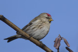 Common Redpoll / Grote Barmsijs