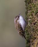Central European Treecreeper / Kortsnavelboomkruiper