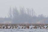 Eurasian Wigeons / Smienten