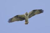 Osprey / Visarend