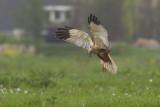 Marsh Harrier / Bruine Kiekendief