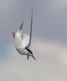 Common Tern / Visdief