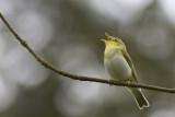 Wood Warbler / Fluiter