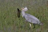 Grey Heron with Tench / Blauwe Reiger met Zeelt