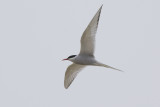 Arctic Tern / Noordse Stern