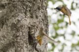 Common Redstarts / Gekraagde Roodstaarten