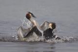 fighting Great Crested Grebes / vechtende Futen