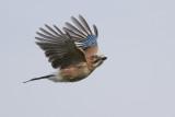 Eurasian Jay / Vlaamse Gaai