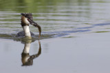 Great Crested Grebe with prey / Fuut met prooi
