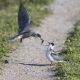 Black Tern feeds young / Zwarte Stern voert jong