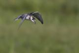 Black Tern with Common Bluetail as prey / Zwarte Stern met gevangen Lantaarntje