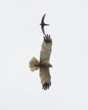 Marsh Harrier and Common Swift / Bruine Kiekendief en Gierzwaluw