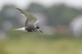 Black Tern / Zwarte Stern
