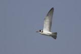 juvenile Black Tern / juveniele Zwarte Stern