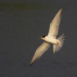 juvenile Common Tern / juveniele Visdief