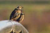 Common Starlings /  Spreeuwen