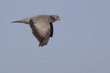 Stock Dove / Holenduif