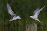 Common Terns / Visdieven