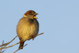 House Sparrow / Huismus