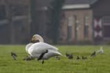 Whooper Swans / Wilde Zwanen