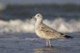 Caspian Gull / Pontische Meeuw