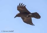 Fan Tailed Raven