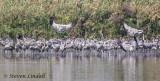 Common Cranes