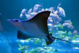 Giant Oceanic Manta Ray (1)