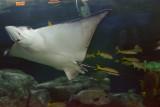Giant Oceanic Manta Ray (2)
