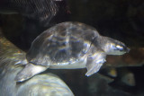 Fly River Turtle (3)