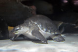 Fly River Turtle (2)