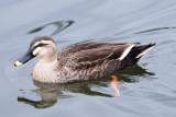 Wild Duck (Female)