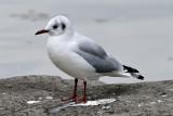 Sea Gull (2)