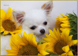 Bailey and the Sunflower
