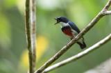 Visayan Flowerpecker aka Black-belted Flowerpecker (Dicaeum haematostictum)