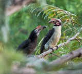 Luzon Hornbill (male/female) (Penelopides manillae)