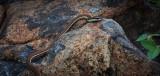 Bronze-back Tree Snake