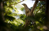 Oriental Honeybuzzard (Pernis ptilorhynchus)