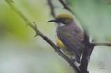 Flowerpecker, Olive-capped (Dicaeum nigrilore)