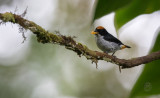 Flowerpecker, Flame-crowned (Dicaeum anthonyi)