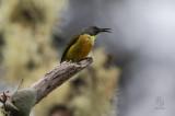 Sunbird, Apo (Aethopyga boltoni)
