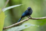 Fantail, Mindanao Blue (Rhipidura superciliaris)