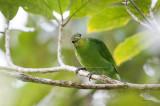 Leafbird, Philippine (Chloropsis flavipennis)