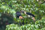 Hornbill, Mindanao Tarictic (Penelopides affinis)