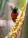 Sunbird, Purple-throated  (Nectarinia sperata)