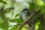 Flycatcher, Little Slaty (Ficedula basilanica)
